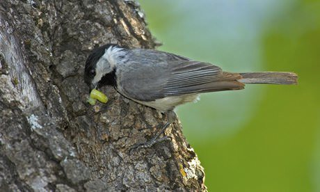 Carolina Chickadee Poecil 009